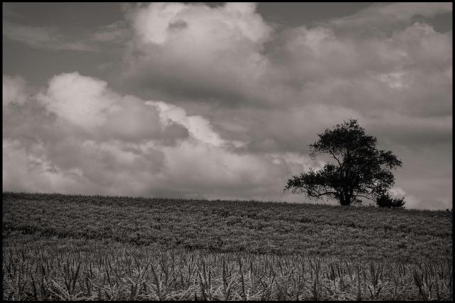 Corn, Clouds, and Tree, Woodbury, Connecticut © Steven Willard